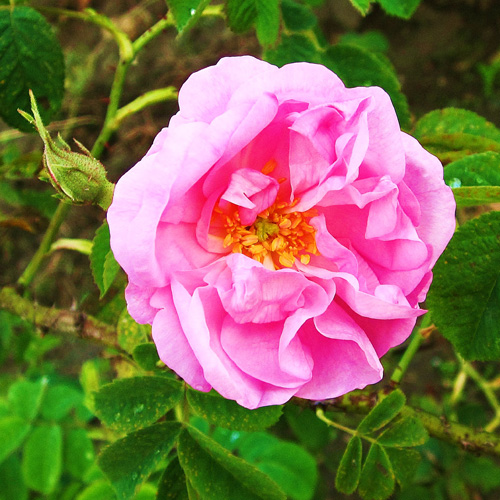 Damascus rose (Rose damascene)